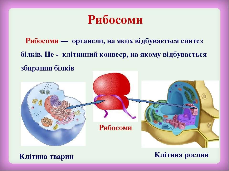 Рибосоми Клітина тварин Клітина рослин Рибосоми Рибосоми — органели, на яких ...