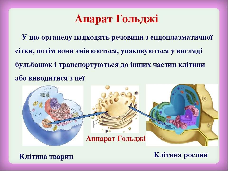 Апарат Гольджі Клітина тварин Клітина рослин У цю органелу надходять речовини...