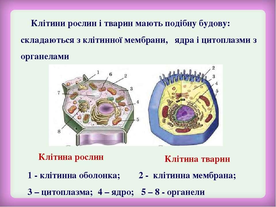 Клітини рослин і тварин мають подібну будову: складаються з клітинної мембран...