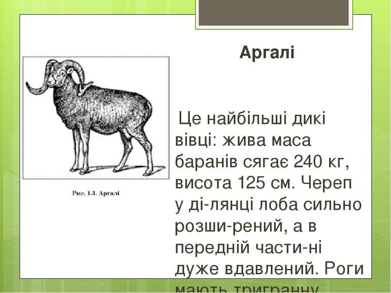 Аргалі Це найбільші дикі вівці: жива маса баранів сягає 240 кг, висота 125 см...