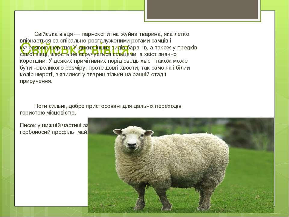 Свійська вівця. Свійська вівця— парнокопитнажуйна тварина, яка легко впізна...