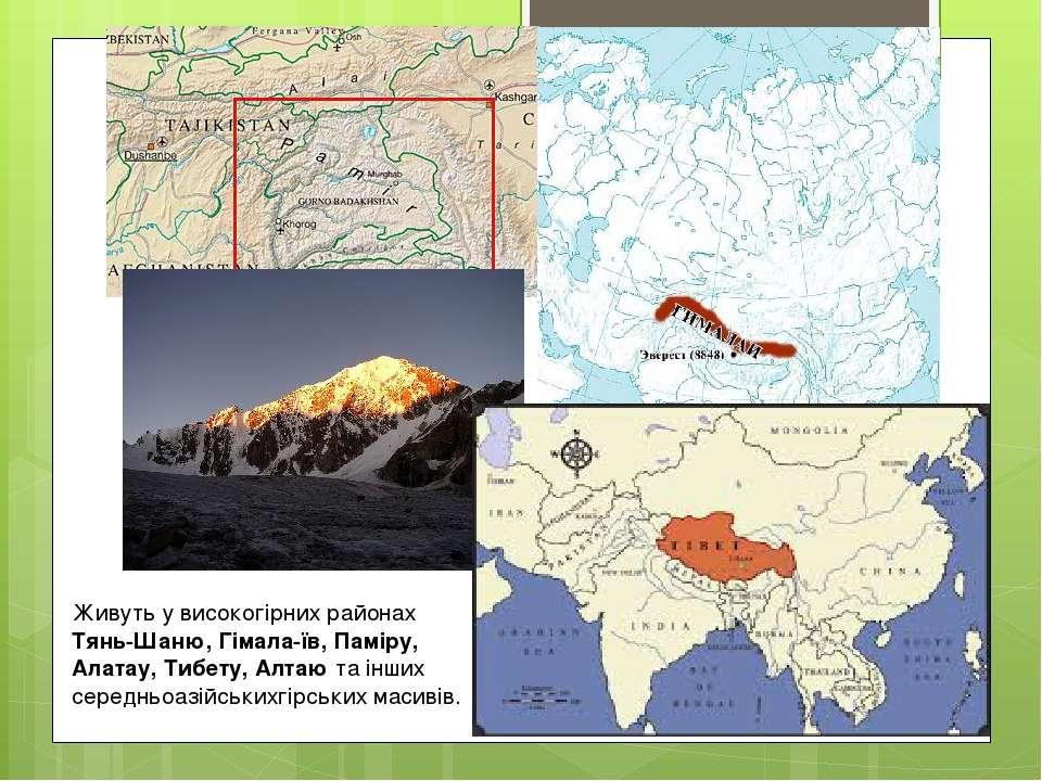 Живуть у високогірних районах Тянь-Шаню, Гімала їв, Паміру, Алатау, Тибету, А...