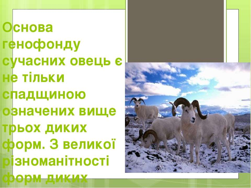 Основа генофонду сучасних овець є не тільки спадщиною означених вище трьох ди...