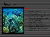 Тридакна Самий великий з двостулкових молюсків, довжина більше 1 метра, вага ...