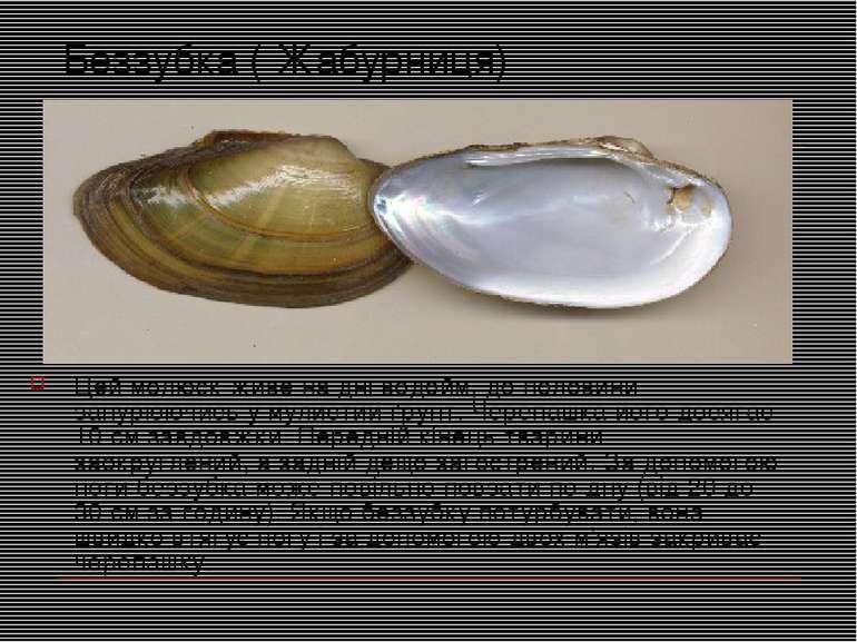 Беззубка ( Жабурниця) Цей молюск живе на дні водойм, до половини занурюючись ...