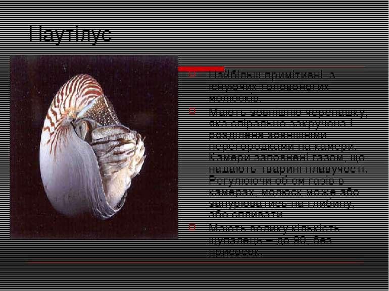 Наутілус Найбільш примітивні з існуючих головоногих молюсків. Мають зовнішню ...