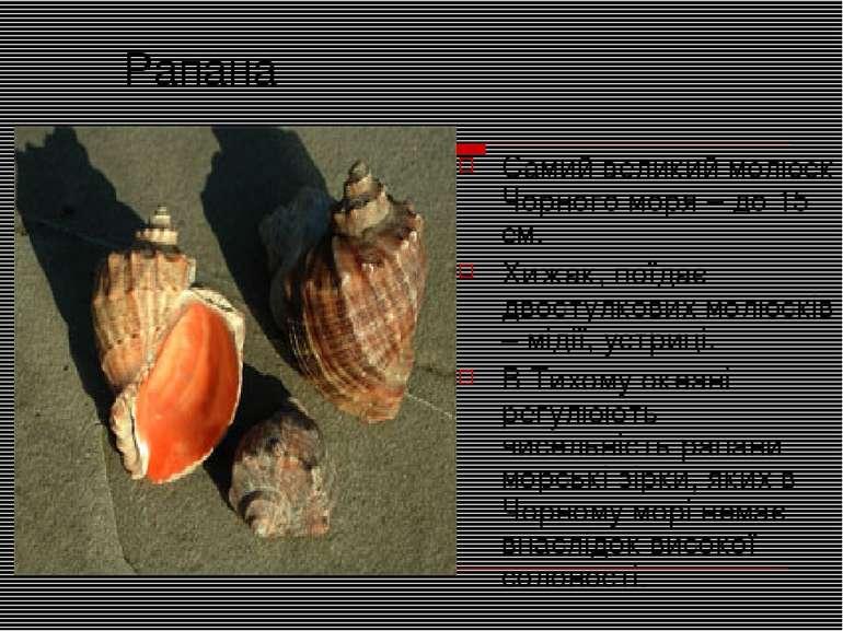 Рапана Самий великий молюск Чорного моря – до 15 см. Хижак, поїдає двостулков...
