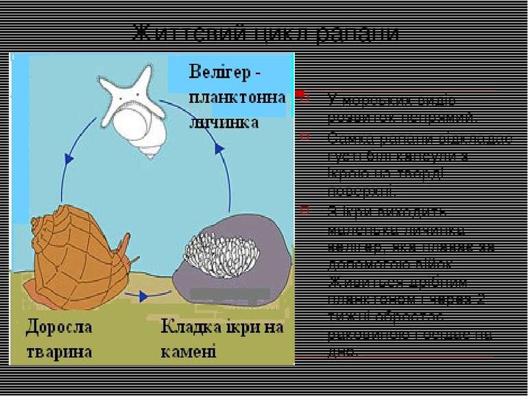 Життєвий цикл рапани У морських видів розвиток непрямий. Самка рапани відклад...