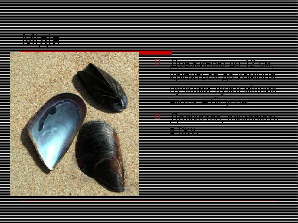 Мідія Довжиною до 12 см, кріпиться до каміння пучками дуже міцних ниток – біс...
