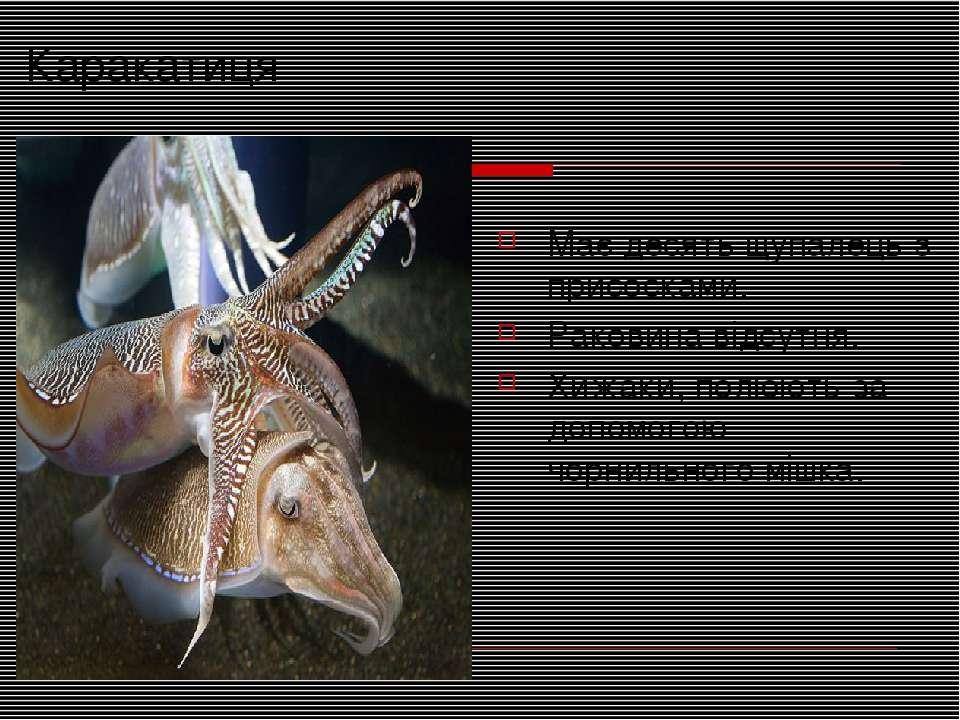 Каракатиця Має десять щупалець з присосками. Раковина відсутня. Хижаки, полюю...