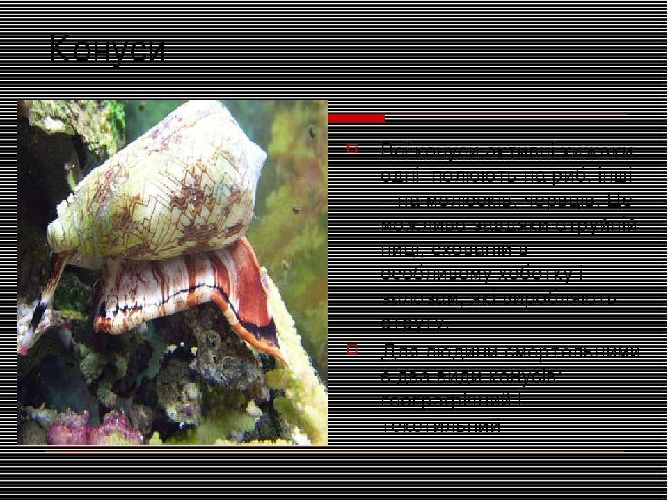 Конуси Всі конуси активні хижаки, одні полюють на риб, інші – на молюсків, че...