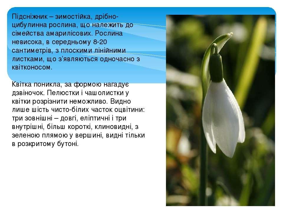 Підсніжник – зимостійка, дрібно-цибулинна рослина, що належить до сімейства а...
