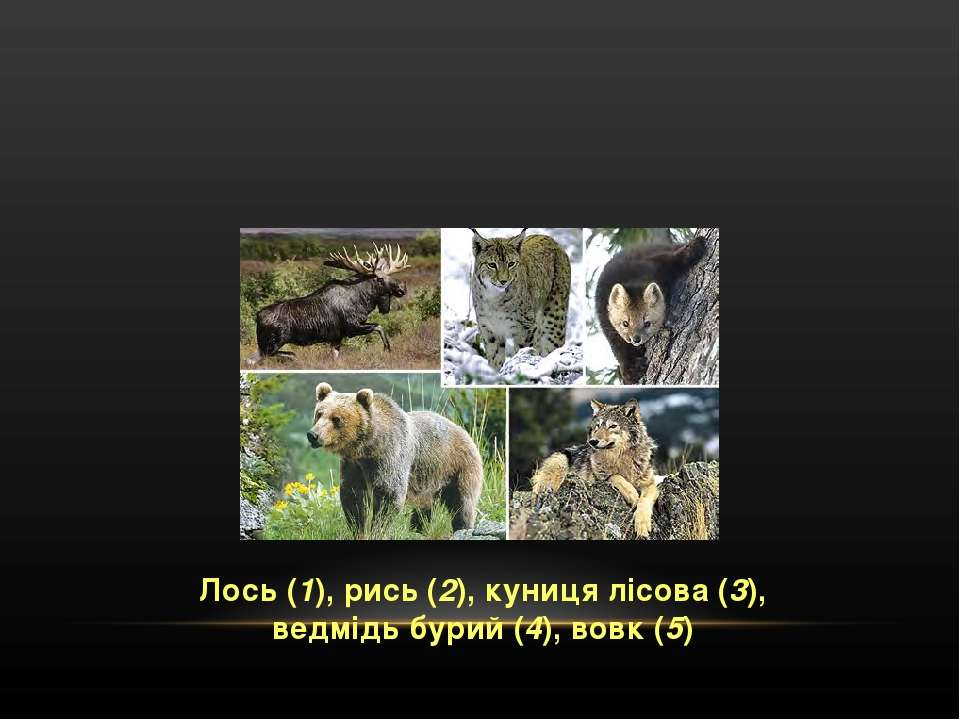 Лось (1), рись (2), куниця лісова (3), ведмідь бурий (4), вовк (5)