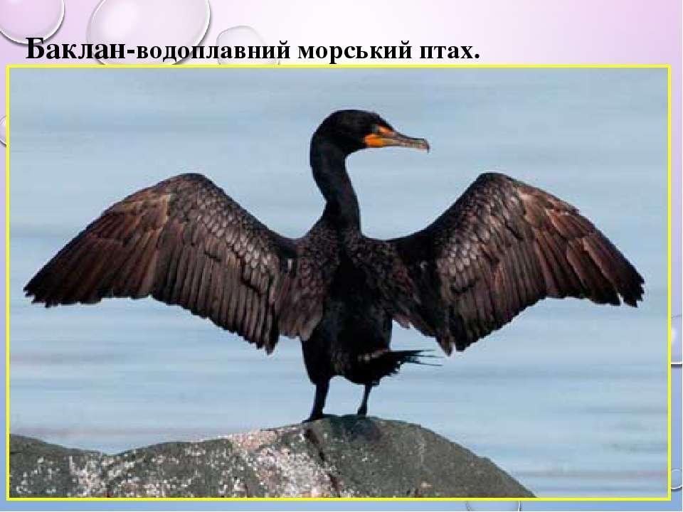 Баклан-водоплавний морський птах.