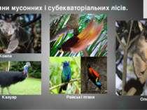 Коала Тварини мусонних і субекваторіальних лісів. Райські птахи Опосум Казуар