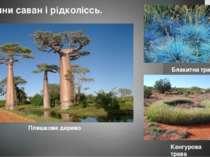 Блакитна трава Рослини саван і рідколіссь. Кенгурова трава Пляшкове дерево