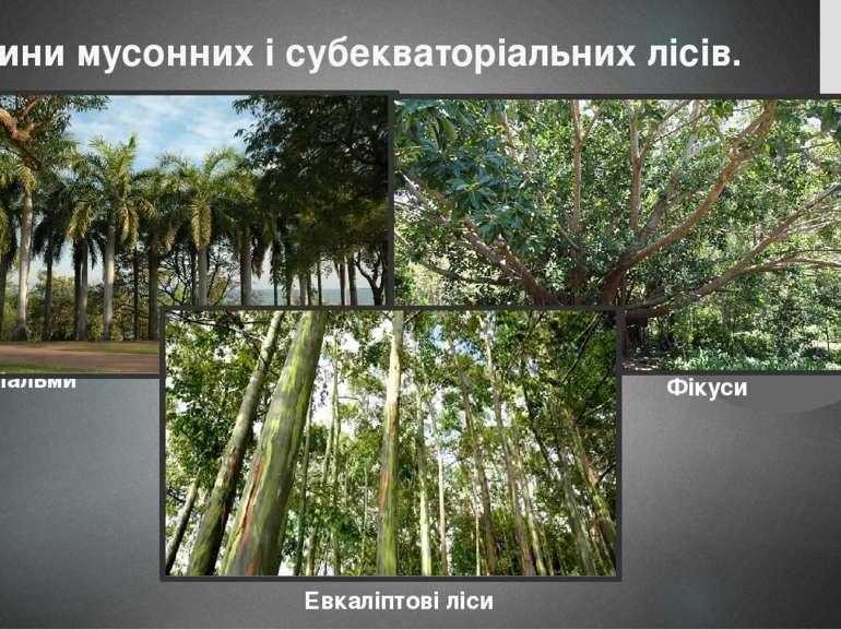Рослини мусонних і субекваторіальних лісів. Пальми Фікуси Евкаліптові ліси