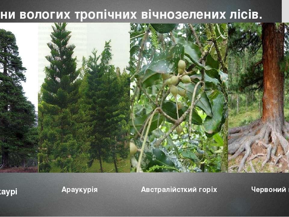 Рослини вологих тропічних вічнозелених лісів. Сосна каурі Араукурія Австралій...