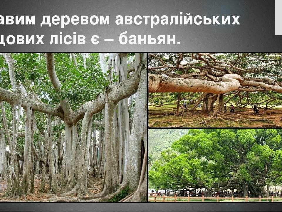 Цікавим деревом австралійських дощових лісів є – баньян.