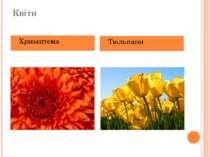 Квіти Хризантема Тюльпани