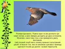 Розміри вражають. Розмах крил може досягати три чверті метра, а вага нерідко ...