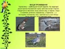 МІСЦЯ ПРОЖИВАННЯ Припутень – найбільший голуб Європи. На території нашої краї...