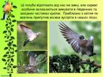 Ці голуби відлітають від нас на зиму, але окремі особини залишаються зимувати...