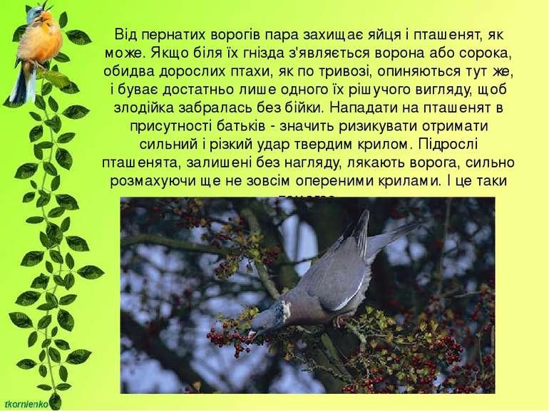Від пернатих ворогів пара захищає яйця і пташенят, як може. Якщо біля їх гніз...