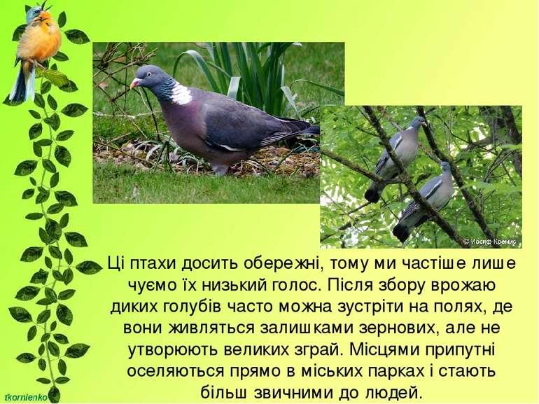 Ці птахи досить обережні, тому ми частіше лише чуємо їх низький голос. Після ...
