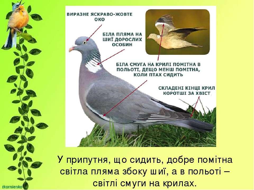 У припутня, що сидить, добре помітна світла пляма збоку шиї, а в польоті – св...