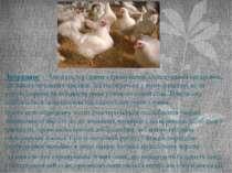 Інбридинг— близькоспоріднене схрещування, схрещування організмів, що мають з...