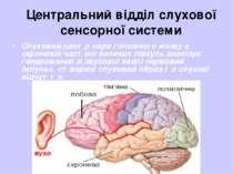Центральний відділ слухової сенсорної системи Слуховий центр кори головного м...