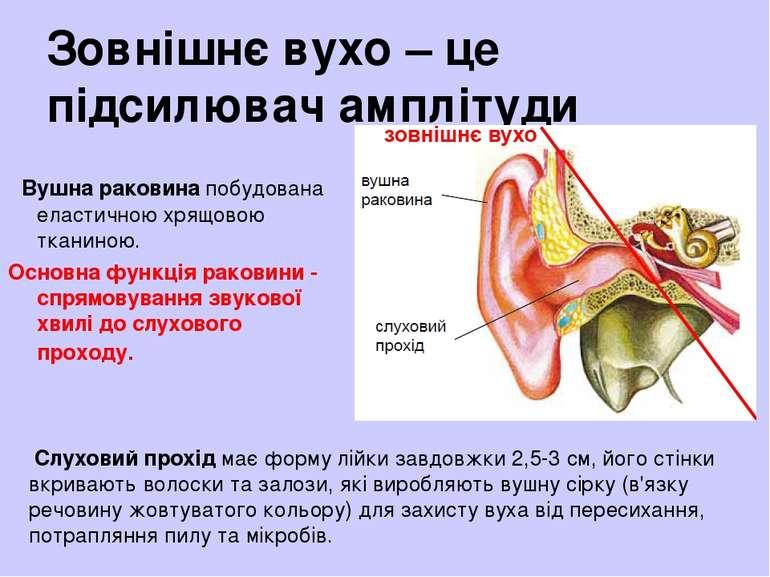 Зовнішнє вухо – це підсилювач амплітуди Вушна раковина побудована еластичною ...