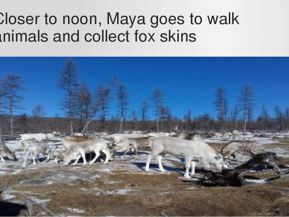 Closer to noon, Maya goes to walk animals and collect fox skins