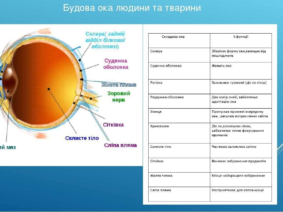 Будова ока людини та тварини