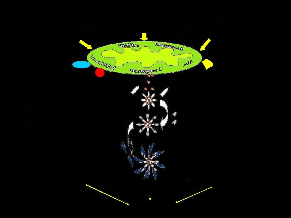 Апоптоз. Мітохондріальні механізми Ендонуклеаза G Bcl-2, Bcl-XL Прокаспаза 9 ...
