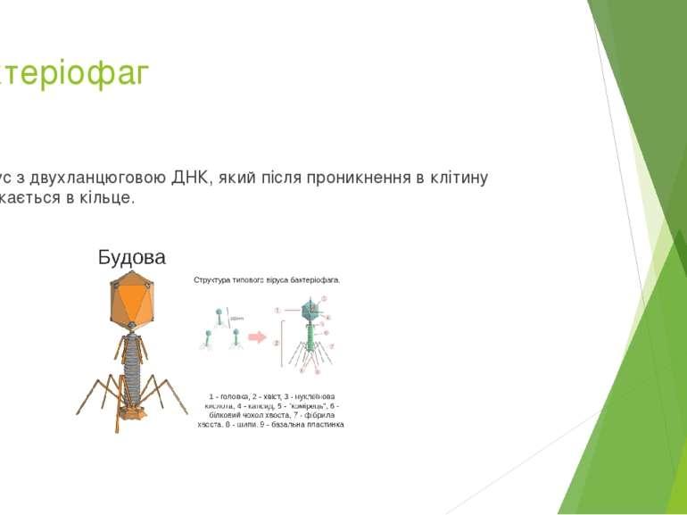 Бактеріофаг Вірус з двухланцюговою ДНК, який після проникнення в клітину змик...