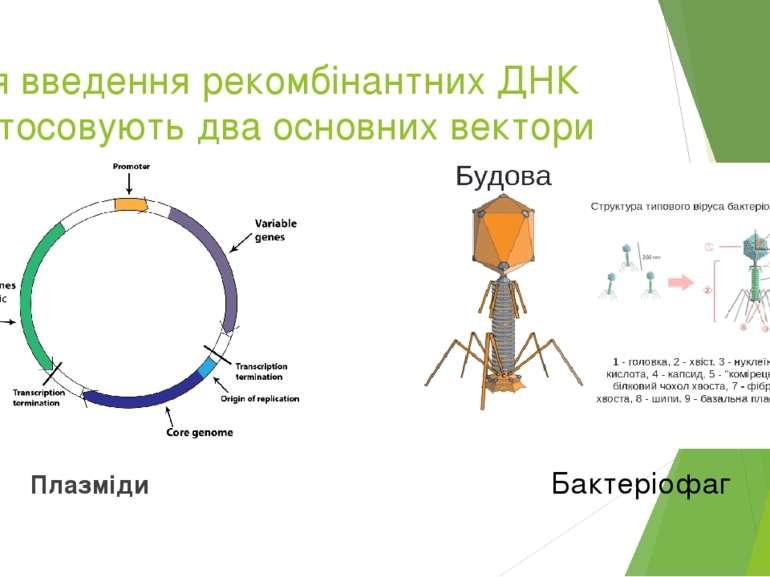 Для введення рекомбінантних ДНК застосовують два основних вектори Плазміди Ба...