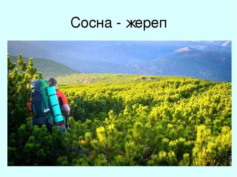 Сосна - жереп