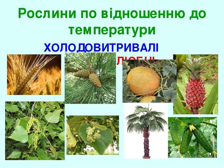 Рослини по відношенню до температури ХОЛОДОВИТРИВАЛІ ТЕПЛОЛЮБНІ