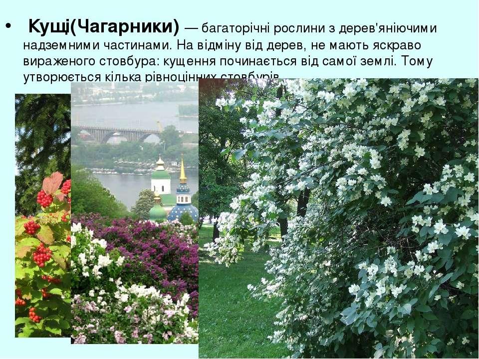 Кущі(Чагарники) — багаторічні рослини з дерев'яніючими надземними частинами. ...