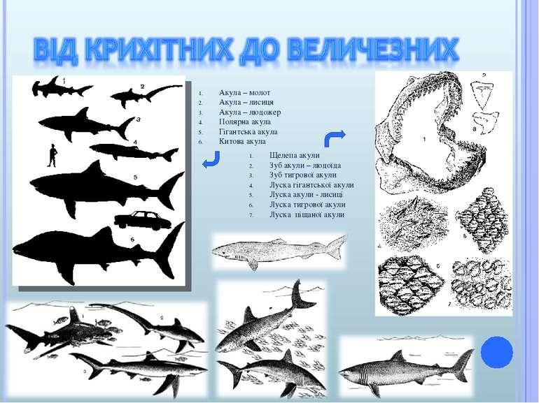 Акула – молот Акула – лисиця Акула – людожер Полярна акула Гігантська акула К...