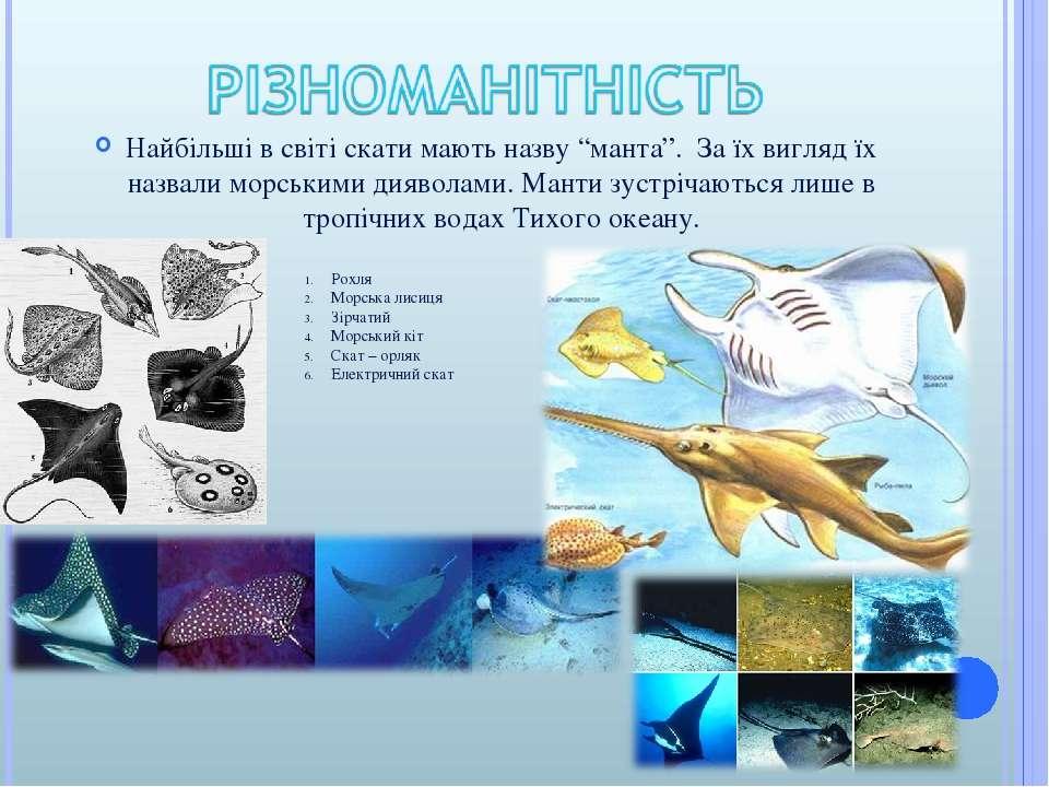 """Найбільші в світі скати мають назву """"манта"""". За їх вигляд їх назвали морським..."""