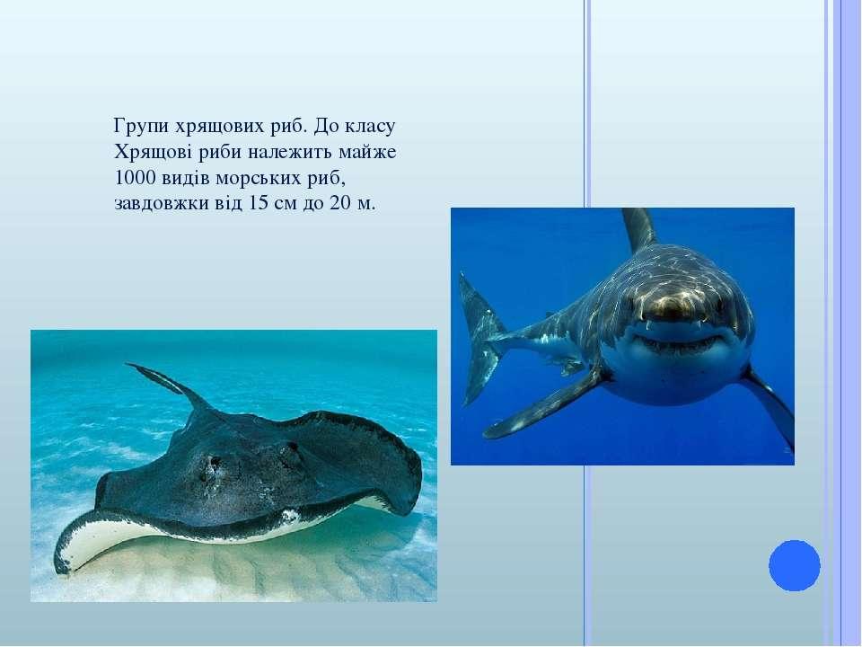 Групи хрящових риб. До класу Хрящові риби належить майже 1000 видів морських ...