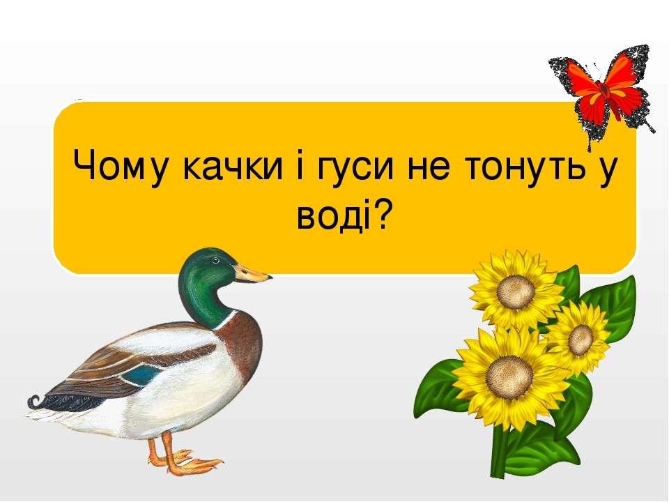 Їхнє пір'я, змащене жиром, не намокає. Чому качки і гуси не тонуть у воді?