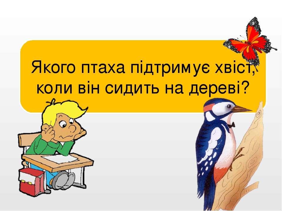 Дятла. Якого птаха підтримує хвіст, коли він сидить на дереві?