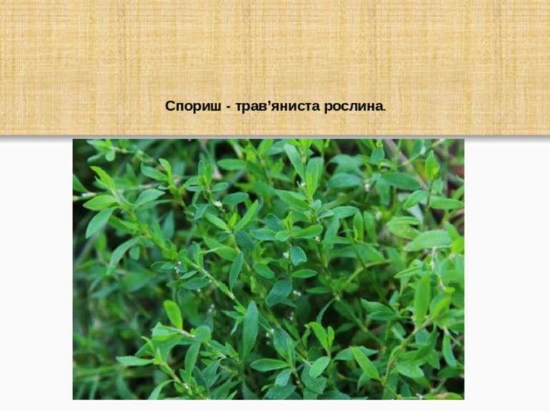Спориш - трав'яниста рослина.
