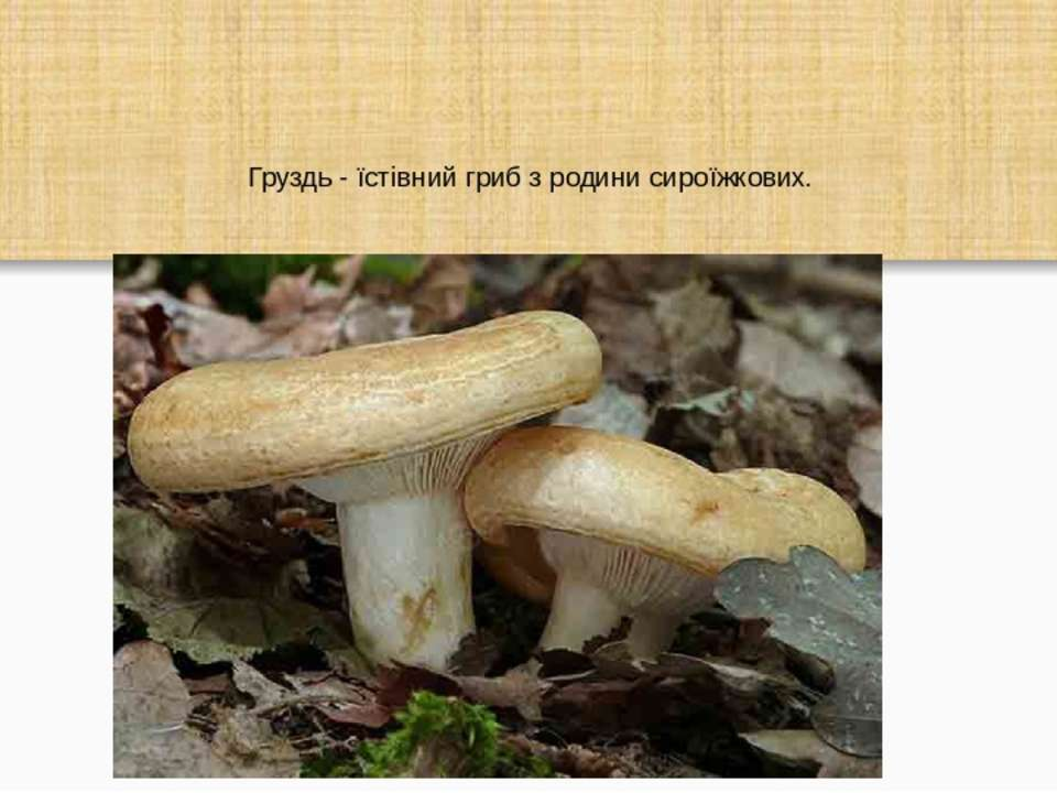 Груздь - їстівний гриб з родини сироїжкових.