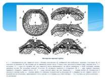 Закладання нервової трубкн: а: 1 — мезодермальний дах первинної кишки з бічни...