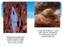 Повздовжній розріз крізь головку сперматозоїда. Генетичний матеріал міститься...